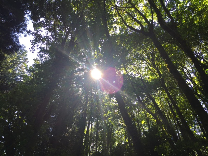 redwoods-and-sun